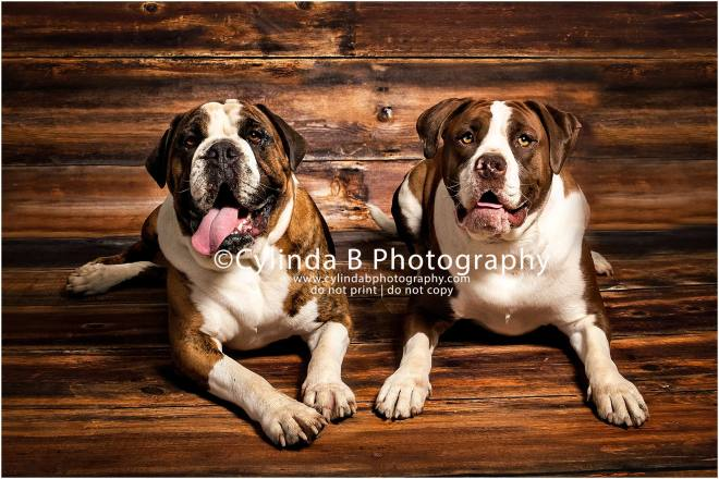 bull dog, pet photography, syracuse ny, dog, portraits, cylinda b photography, photo, siblings