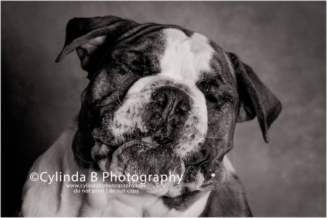 bull dog, pet photography, syracuse ny, dog, portraits, cylinda b photography, photo