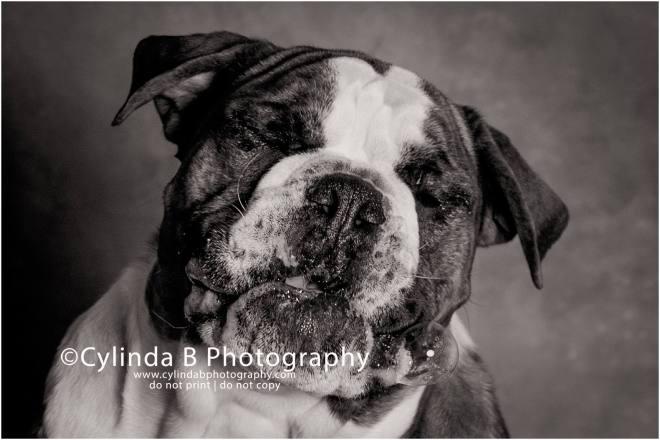 bull dog, pet photography, syracuse ny, dog, portraits, cylinda b photography, photo