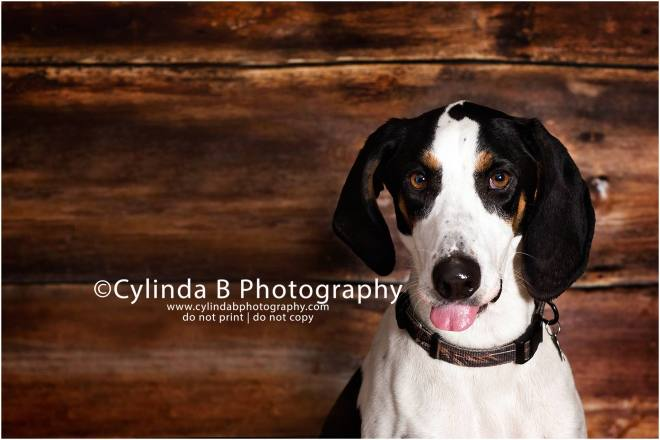 bull dog, pet photography, syracuse ny, dog, portraits, cylinda b photography, photo, walker coonhound