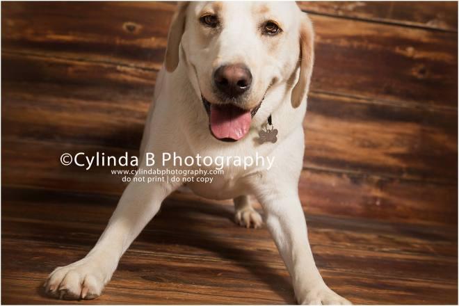 bull dog, pet photography, syracuse ny, dog, portraits, cylinda b photography, photo, yellow lab