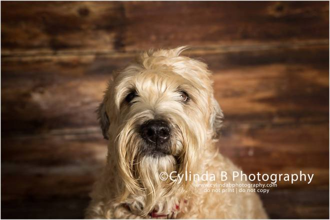 soft coated Wheaten Terrier, pet photography, syracuse ny, dog, portraits, cylinda b photography, photo