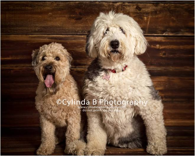 soft coated Wheaten Terrier, pet photography, syracuse ny, dog, portraits, cylinda b photography, old English Sheepdog