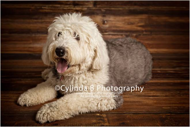 Old English Sheepdog, pet photography, syracuse ny, dog, portraits, cylinda b photography