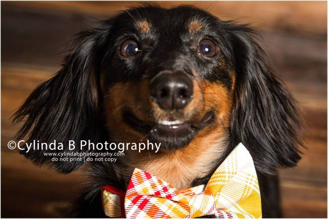 miniature dachshund, pet photography, syracuse ny, dog, portraits, cylinda b photography