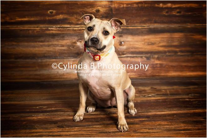 Pit bull,  pet photography, syracuse ny, dog, portraits, cylinda b photography