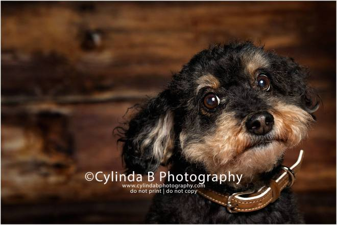 toy poodle,  pet photography, syracuse ny, dog, portraits, cylinda b photography