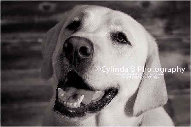 bull dog, pet photography, syracuse ny, dog, portraits, cylinda b photography, photo, yellow lab