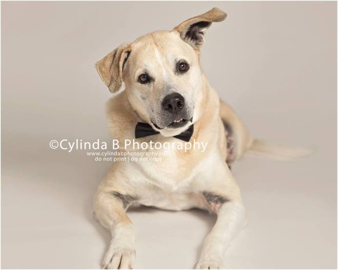 pet photography, syracuse ny, dog, portraits, cylinda b photography, photo, yellow lab