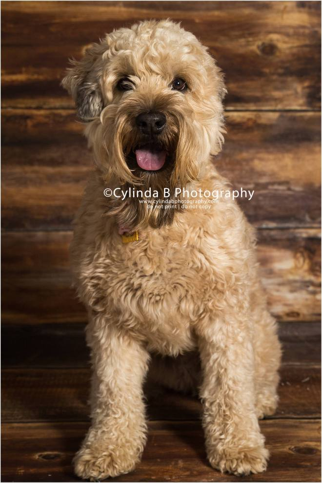 soft coated Wheaten Terrier, pet photography, syracuse ny, dog, portraits, cylinda b photography